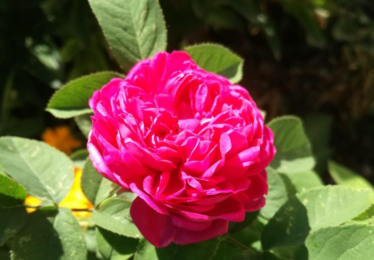 Damascena Rose 22